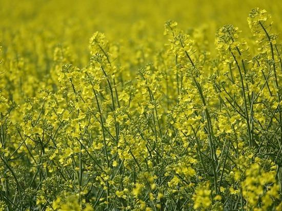 Калужские аграрии намерены к 2025 году увеличить экспорт рапса до $81 млн