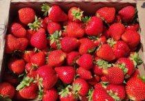 В Бондарском районе фермеры планируют собрать  с  гектара  клубничных плантаций 9 тонн ягод