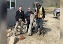 Золотодобытчики обнаружили три частичных скелета трех шерстистых мамонтов, которые, возможно, были из одной семьи, на руднике Литл-Флейк недалеко от Доусон-Сити, Юкон, в Канаде