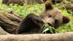 В Саяно-Шушенском заповеднике в фотоловушку попала медведица с медвежатами