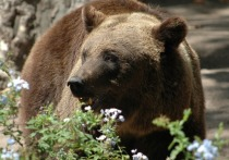 Поиски медведя, сбежавшего в Мытищах с территории элитного гольф-клуба, продолжаются больше недели