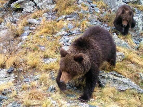 Саяно-Шушенский заповедник показал игры молодых медвежат