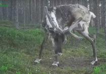 Северного оленя из заповедника в Карелии, пытающегося почесаться, зафиксировала фотоловушка