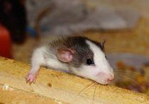 Ученые Военно-морского медицинского университета в Шанхае опубликовали данные эксперимента, в результате которого самец крысы выносил и родил крысят