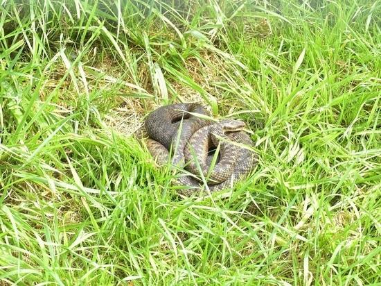 Жителей призывают к осторожности: в Карелии активизировались змеи
