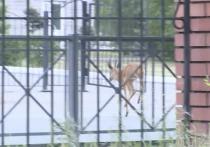 В столицу Тувы забежало дикое животное