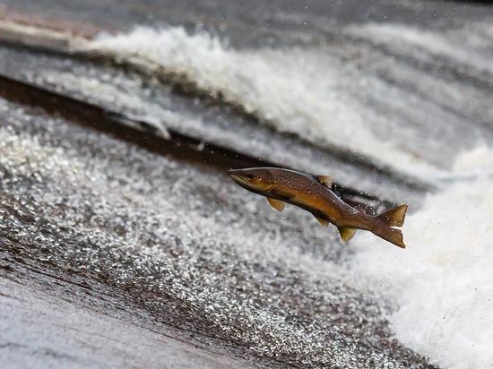Нерест рыбы-горбуши в норвежских территориальных водах грозит уничтожить популяцию лосося, сообщает норвежский портал NRK