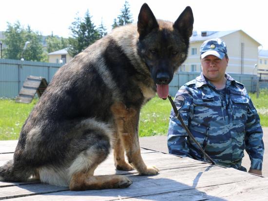 Полицейская собака Акбар из Томска снова помогла найти партию наркотиков