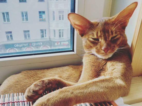 Пропавший у жителя Омска абиссинский кот Жан нашёлся