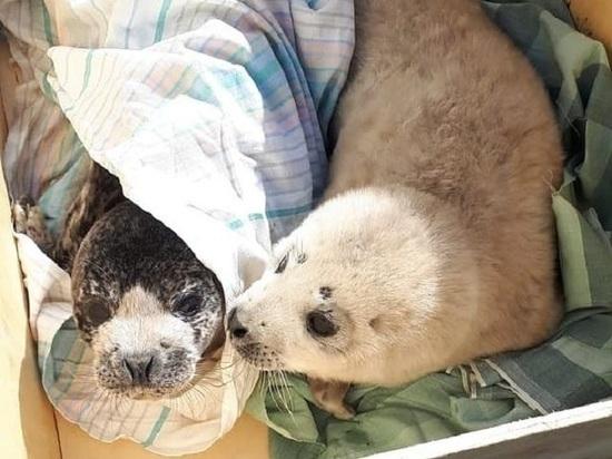 Спасенных тюленят выпустили в море в Приморье