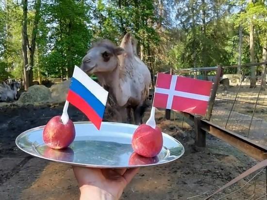 Верблюд из петербургского зоопарка предсказал исход матча Россия—Дания