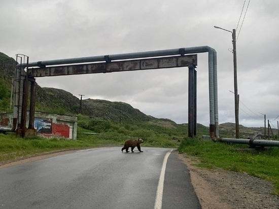 Почему встречи северян с медведями стали неизбежны