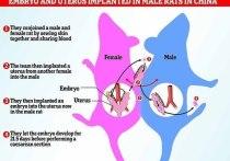 Самец крысы в Китае родил путем кесарева сечения после эксперимента, в ходе которого ему пересадили матку