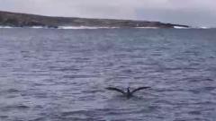 Буревестнику изменила удача в играх с белой акулой: видео