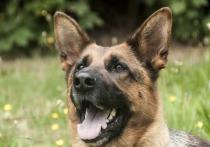 Служебно-розыскная собака Арс помогла раскрыть преступление, взяв след и найдя похищенный телефон в Чите