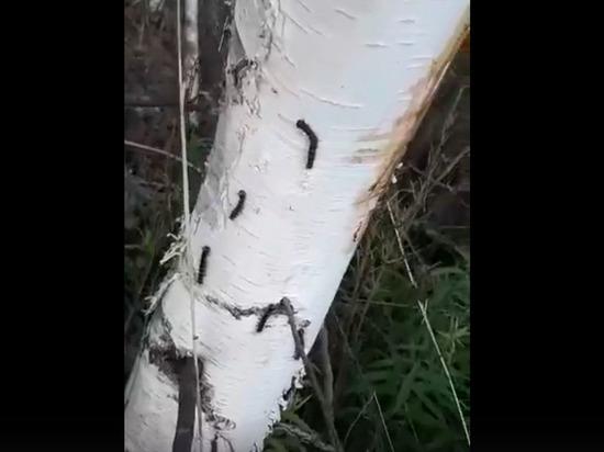 Гусеницы сожрали на деревьях всю листву