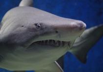 В Красном море акула выпрыгнула из воды и откусила пятку мужчине