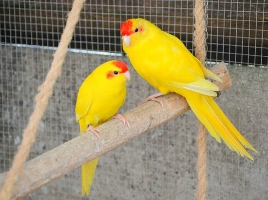 На Сахалине попугай поменял самку ради получения потомства