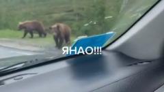 «Разборки» медвежат попали на видео на дороге Ямала