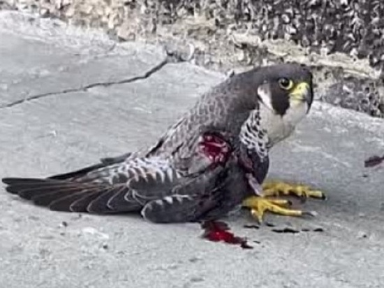 Самку сапсана, кормящую птенцов, подстрелили в Заринске