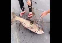 Выудить рыбу гигантских размеров из Москвы-реки удалось на днях рыболовам