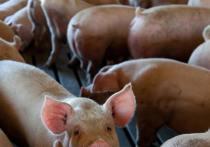Вспышки африканской чумы свиней зафиксировали в Струго-Красненском и Порховском районах
