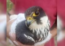 В Якутии спасли птиц из Красной книги