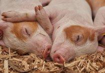В Псковской области установили карантин по африканской чуме свиней
