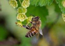 Истинную причину неадекватности подмосковных пчел, которых уже окрестили пьяными, выявили специалисты