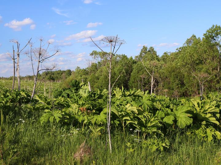 Главный садовод страны рассказал об июльских посадках: «Ел борщевик сто раз»