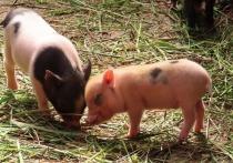 Карантин по африканской чуме свиней объявлен в одной из деревень под Псковом