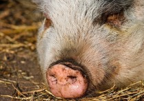 В Дзержинском районе введен карантин по чуме свиней