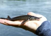 «Голевская ГРК» выпустила в Енисей 72 тыс. мальков краснокнижной рыбы