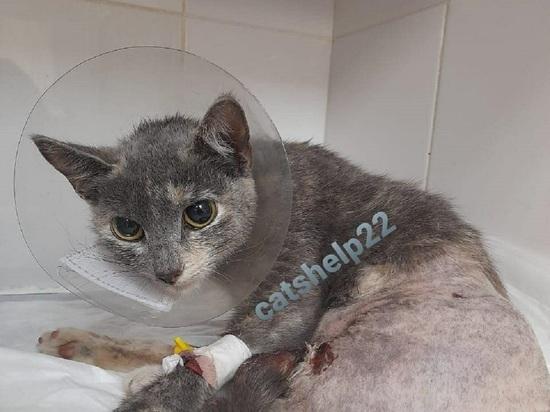 Барнаульские волонтеры просят помочь в спасении тяжело раненой кошки