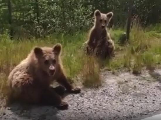 «Ничего не боятся»: медвежата останавливают машины на дороге в ЯНАО