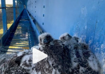 Юных кречетов в гнезде на железнодорожном мосте сняли на видео ученые из ЯНАО