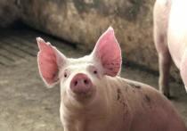 Причины вспышки африканской чумы свиней назвали в Псковской области
