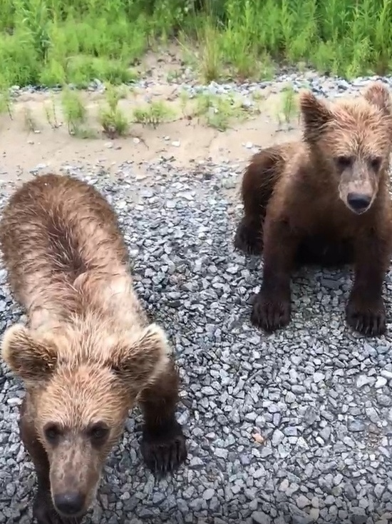 «Растите большими»: водитель накормил медвежат шоколадным печеньем на трассе в ЯНАО