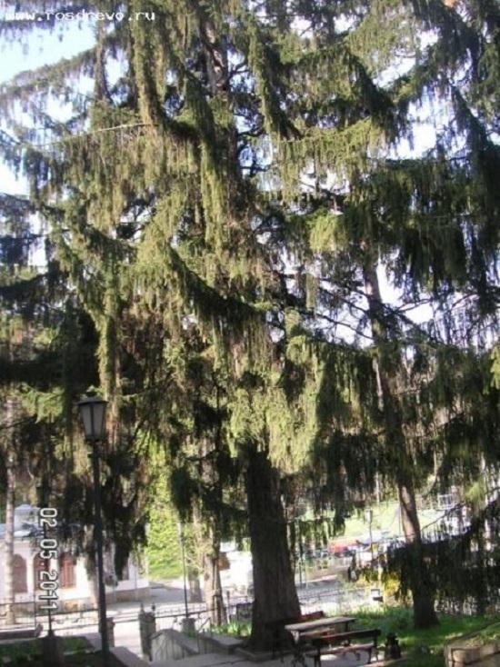 Шаляпинская ель в Кисловодске может стать деревом-победителем России