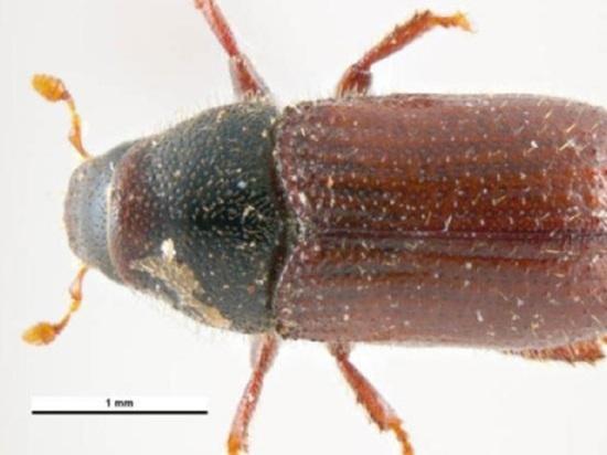 Карантин ввели в четырех районах Алтайского края из-за жука-вредителя