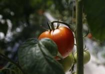 В кубанских теплицах с начала года вырастили 53 тысячи тонн овощей