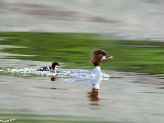 В Саяно-Шушенском заповеднике сфотографировали необычную утку