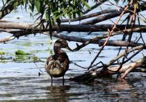 За последнее время сразу в нескольких московских водоемах были обнаружены мертвые утки, погибшие от невыясненных причин