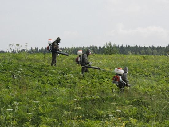 В Кирове начали химическим способом бороться с борщевиком