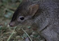 Старшим братом, а может, и сестрой успел стать крохотный детеныш карманных кенгуру, родившийся в начале весны в Московском зоопарке