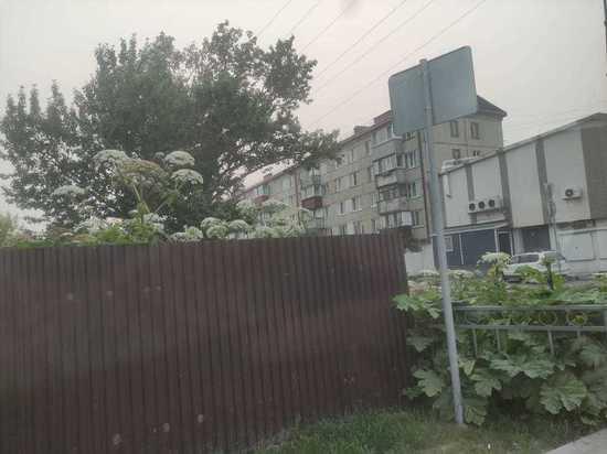 Заросли борщевика в человеческий рост находят сахалинцы во дворах