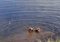 Банные процедуры: купание медвежат близ Нового Уренгоя попало на видео