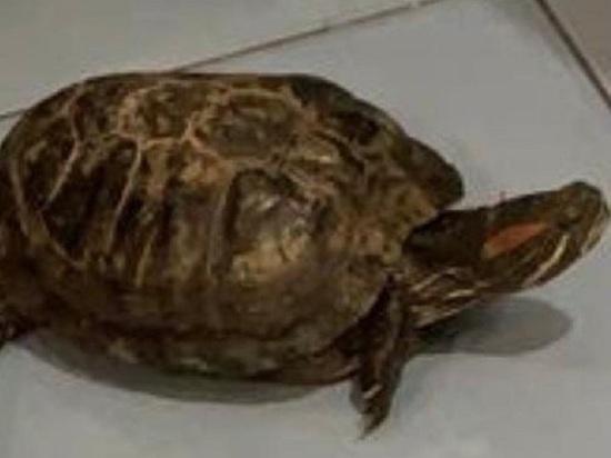 В Кемерове ищут ушедшую погулять красноухую черепаху
