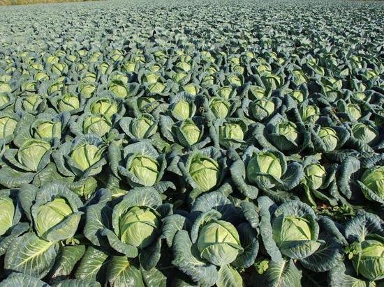 Тюменские аграрии получили первый урожай капусты и свеклы