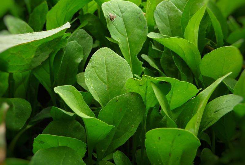 Названы топ-7 овощей и трав для посадки на даче в августе